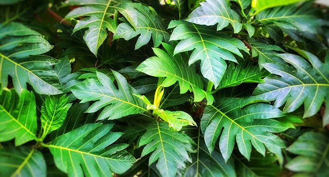 Hawaiian ulu or breadfruit leaves